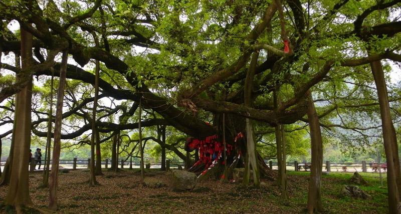 跟着赠送的手绘地图游 062299起  景点大榕树月亮山田野中有一棵古